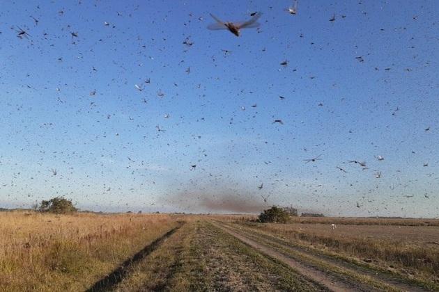 Nuvem de gafanhotos que está na Argentina se aproxima do Brasil; alerta é de perigo para regiões de fronteira