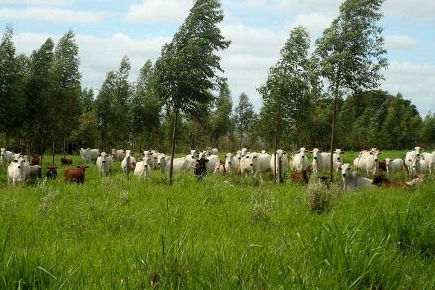 No Paraná produtores aumentam lucros integrando florestas e pecuária