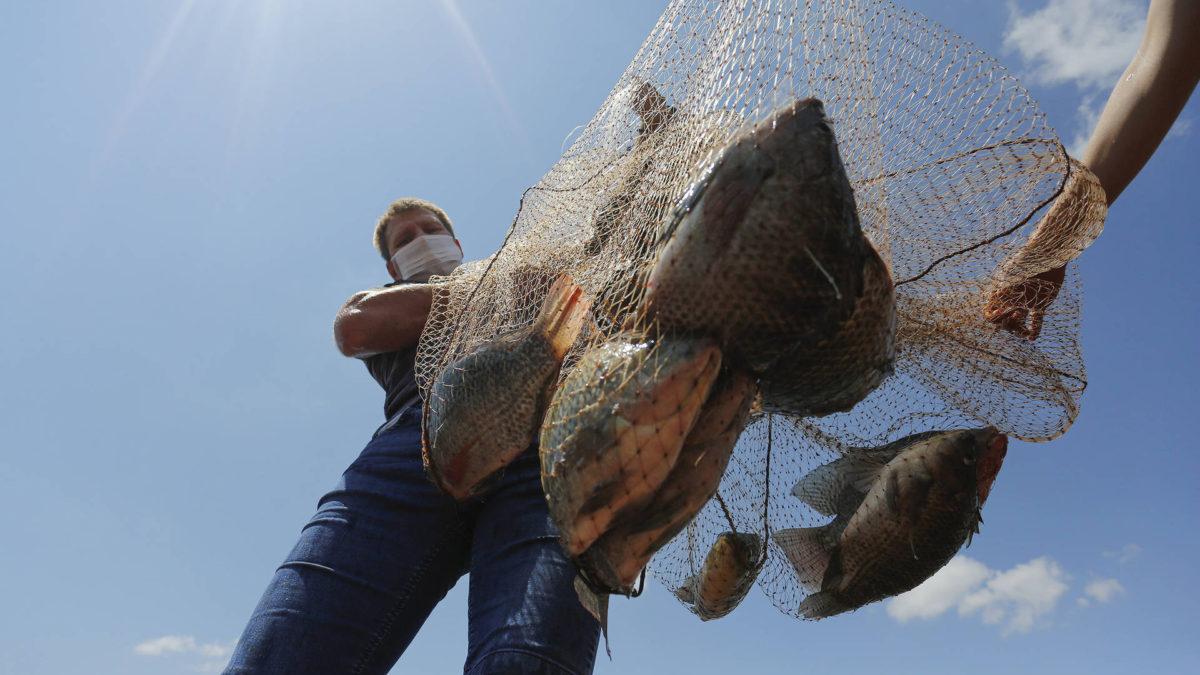 Com crescimento de 14%, Paraná amplia liderança na produção de tilápias