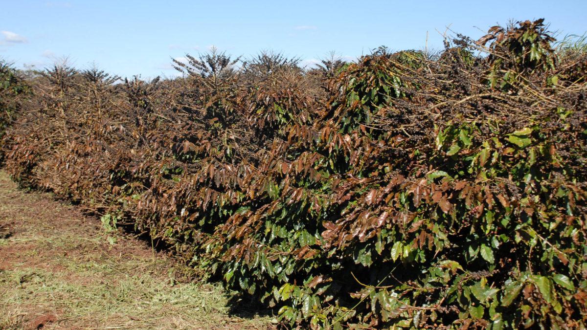 Entra em operação o serviço Alerta Geada para proteção de lavouras de café
