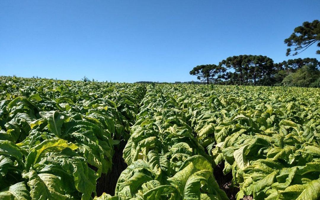Tabaco gera receita superior a R$ 93 milhões em Palmeira na safra 2020/2021